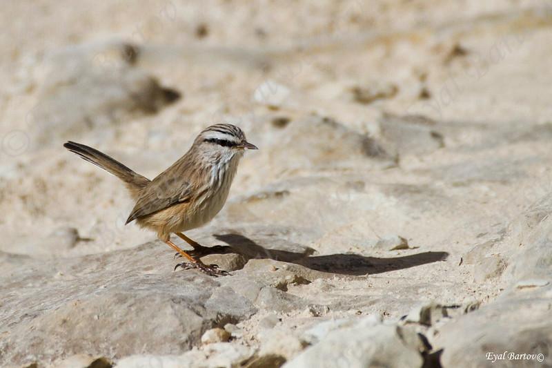 Scrub Warbler / Scotocerca inquieta -   מדברון