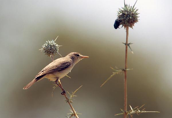שיחנית קטנה  /  Olivaceous Warbler  / Hippolais pallida