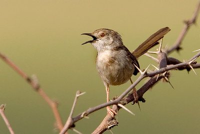 Graceful Prinia, Prinia gracilis - פשוש