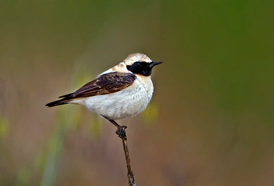 סלעית קיץ - Black-eared Wheatear - Oenanthe hispanica