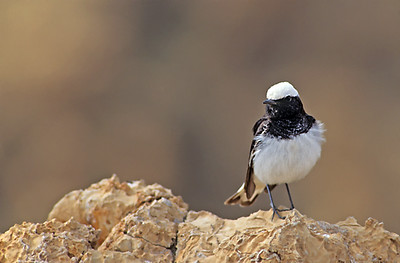 סלעית נזירה - Hooded Wheatear - Oenanthe monacha