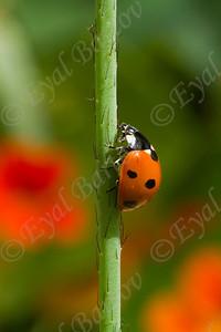 seven-spot ladybird,  Coccinella septempunctata, מושית השבע