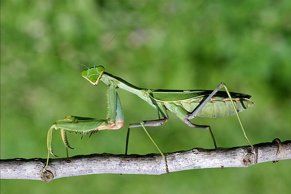Mantis - (Iris oratoria)13.jpg