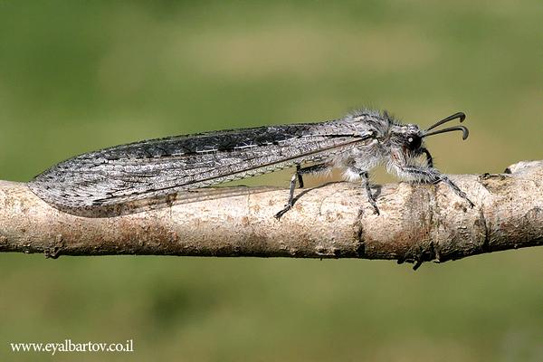 Morter hyalinus.JPG