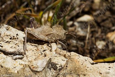 כרבולתן הסלעים / Prionosthenus galericulatus