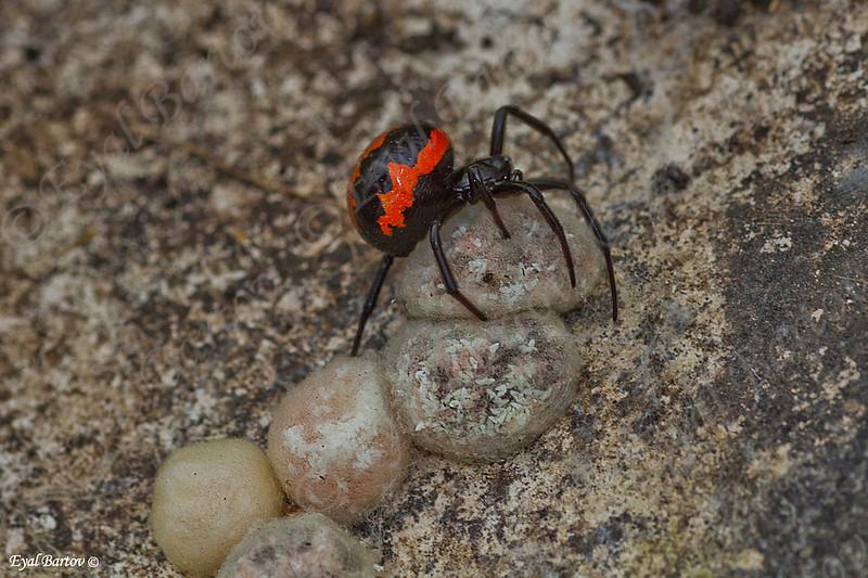False widow spider (Steatoda paykulliana) כדורית אדומה