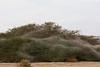 Cyrtophora citricola בר הדר מתגודד במטווה קיבוצי ענק