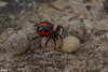 False widow spider (Steatoda paykulliana) כדורית אדומה