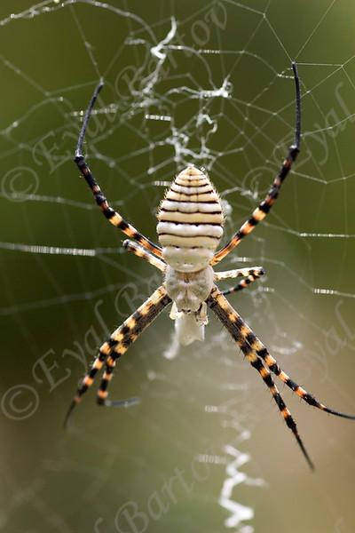 wasp spider (Argiope trifasciata)   כסופי דק פסים -נקבה
