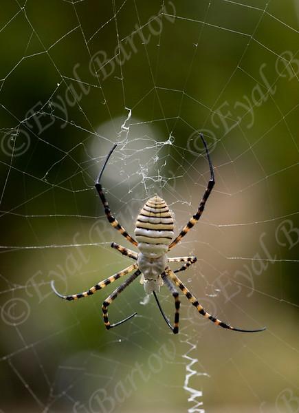 wasp spider (Argiope trifasciata) כסופי דק פסים