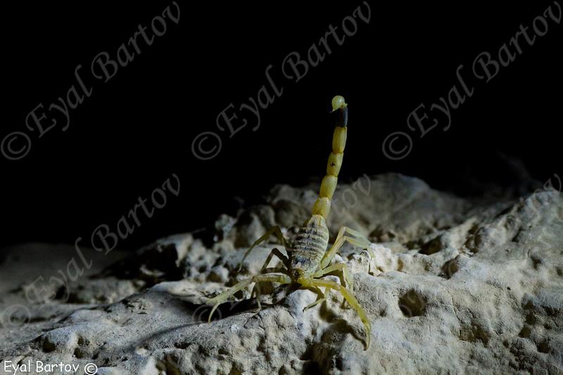 עקצן צהוב, Leiurus quinquestriatus hebraeus.