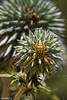 Neoscona adianta נאוסקונה עלעלית