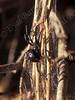 Mediterranean black widow (Latrodectus tredecimguttatus)  אלמנה שחורה