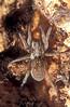 Hyaenosa effera