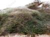 Cyrtophora citricola בר הדר מתגודד