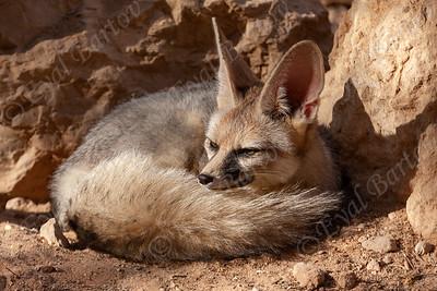 Blanford's fox (Vulpes cana) -שועל צוקים
