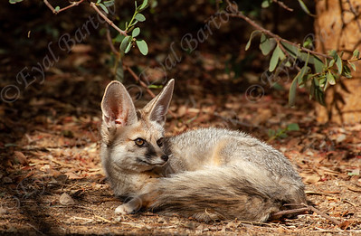 Blanford's fox (Vulpes cana) -שועל צוקים