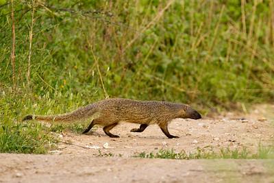 Egyptian mongoose (Herpestes ichneumon) נמייה מצויה