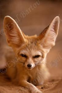 Fennec fox (Vulpes zerda) - שועל פנק