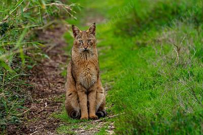 Jungle cat - חתול ביצות  - (Felis chaus)