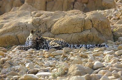 Arabian leopard (Panthera pardus nimr) - נמרי מדבר יהודה