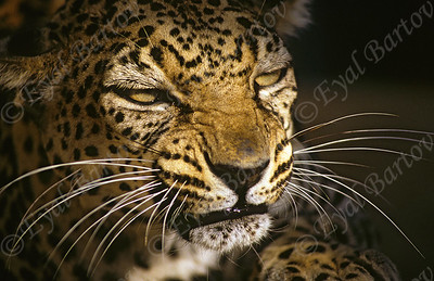 Arabian leopard (Panthera pardus nimr)