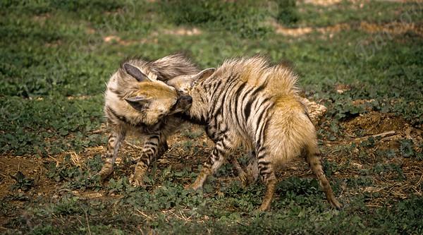 Striped Hyena (Hyaena hyaena)  צבוע מפוספס