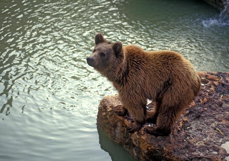 Syrian brown bear (Ursus arctos syriacus) - דב סורי