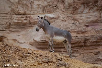 African wild ass (Equus africanus) ערוד