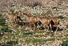 Mouflon (Ovis orientalis orientalis ) כבש הבר