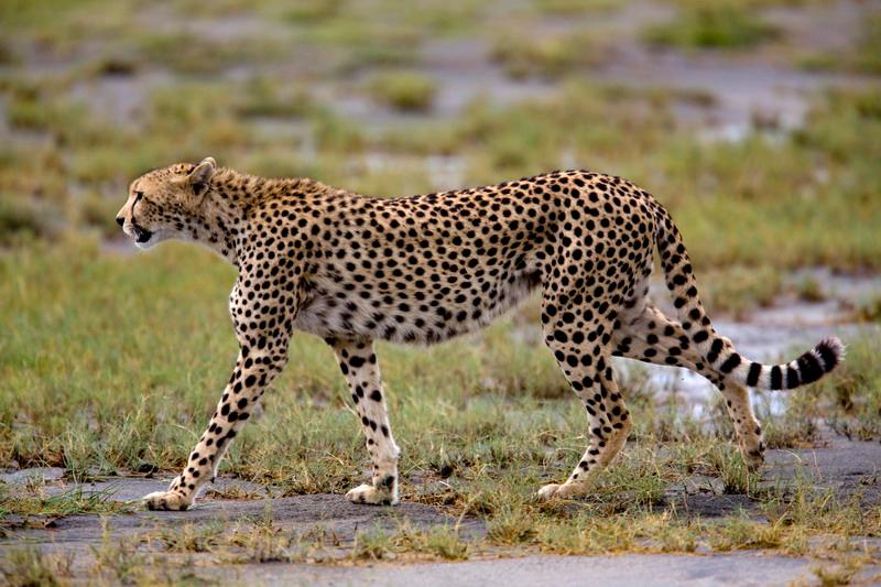 Cheetah (Acinonyx jubatus) - ברדלס