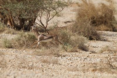 Acacia Gazelle ( Gazella gazella acaciae) - צבי השיטים , צבי הערבה