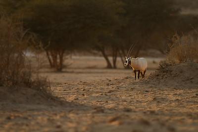 Arabian oryx or white oryx (Oryx leucoryx) - ראם לבן