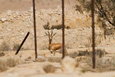 Dorcas gazelle (Gazella dorcas) - צבי הנגב