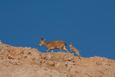 Nubian ibex   (Capra nubiana) יעל נובי
