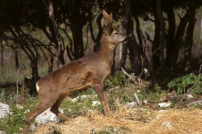 Roe deer  (Capreolus capreolus)- אייל הכרמל