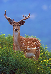 Persian fallow deer (Dama dama mesopotamica)