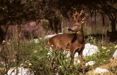 Roe deer (Capreolus capreolus) אייל הכרמל