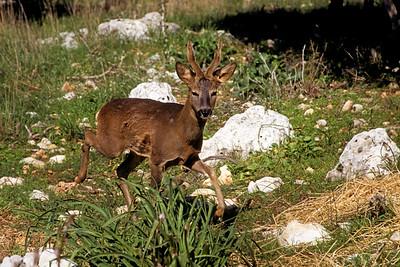 Roe deer  (Capreolus capreolus) - אייל הכרמל -