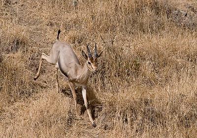 Mountain Gazelle-  צבי ארץ ישראלי