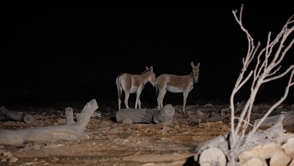 Asiatic wild ass, onager (Equus hemionus)
