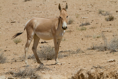 onager (Equus hemionus), also known as hemione or Asiatic wild ass -פרא