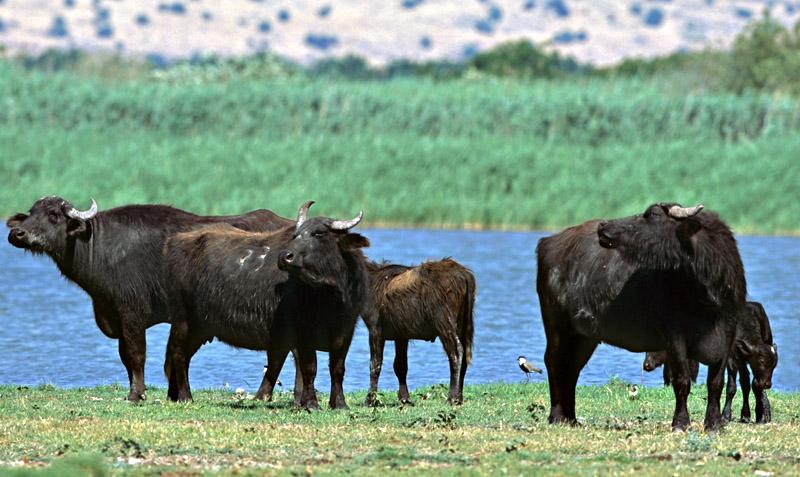 Water Buffalo- ג'מוס