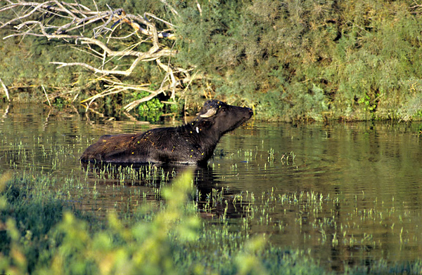 Water Buffalo -