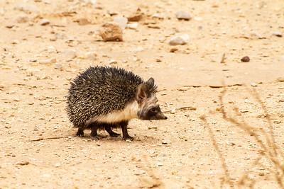 Desert hedgehog   (Paraechinus aethiopicus) קיפוד המדבר