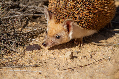 Long-eared hedgehog   (Hemiechinus auritus) קיפוד חולות מצוי