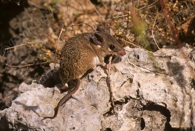 Cairo spiny mouse (Acomys cahirinus) קוצן מצוי