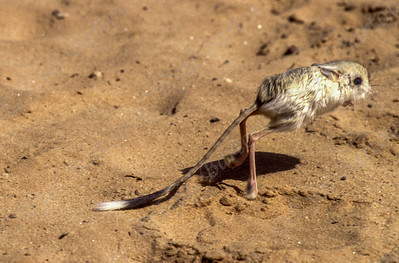 Greater Egyptian jerboa (Jaculus orientalis) ירבוע גדול