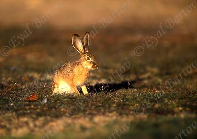 Cape hare (Lepus capensis) ארנבת מצויה