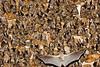Egyptian fruit bat (Rousettus aegyptiacus) עטלף פירות מצוי